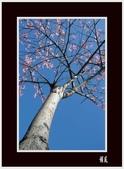 美人花開:美人樹(1)