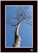 美人花開:美人樹(2)