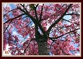 美人花開:盛開的美人樹〔一〕