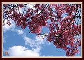 美人花開:盛開的美人樹〔二〕