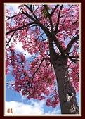 美人花開:盛開的美人樹〔三〕