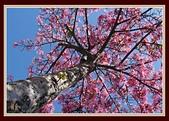 美人花開:盛開的美人樹〔四〕