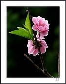 花花樹界:一嬌一羞