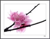 花花樹界:嬌柔