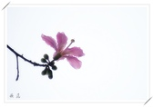 美人花開:2006美人樹 (8)