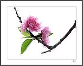 花花樹界:婀娜