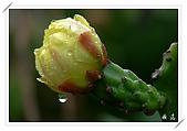雨中的仙人掌花:03