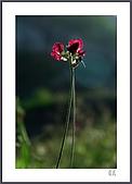 花花樹界:斜陽下偶見