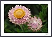 花花樹界:麥桿菊〔謝謝Rita告知〕