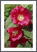 花花樹界:蜀葵(又名一丈紅)〔謝謝Rita告知〕