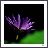 花花樹界:蓮影