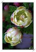 雨中的仙人掌花:05