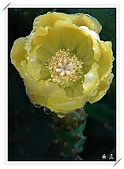 雨中的仙人掌花:12