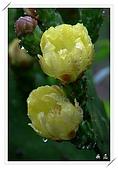 雨中的仙人掌花:06