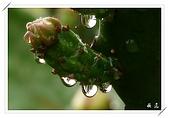雨中的仙人掌花:20
