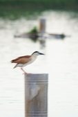 2018年第8本鳥相簿:DSC06788-2.JPG