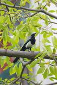 2018年第8本鳥相簿:DSC07184-2.JPG