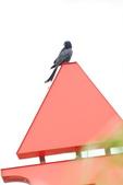 2018年第8本鳥相簿:大卷尾