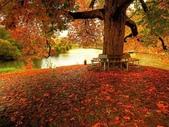 楓葉系列:遍野楓葉情.jpg