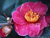 楓葉系列:冬日.一.jpg
