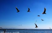 網路的圖片:海鷗翱翔.jpg