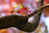 楓葉系列:情海的相簿一美麗的楓葉.jpg