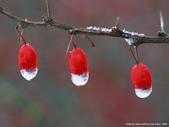 楓葉系列:冬日.jpg