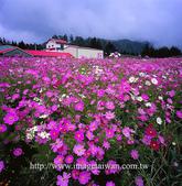 楓葉系列:波斯菊之五.jpg