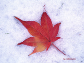 楓葉系列:冬天.九.jpg