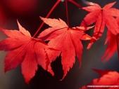 楓葉系列:秋天的楓葉.jpg