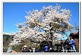 99日本立山、合掌村(二):A9904251661櫻花-白川鄉合掌村.jpg