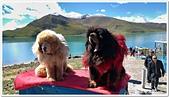 107-3西藏B:A10709120495M_20180912_114655_藏獒-羊卓雍措.jpg
