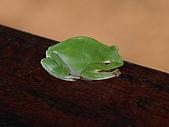 95北橫:A015綠蛙-玉蘭茶園