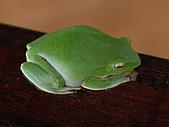 95北橫:A016綠蛙-玉蘭茶園