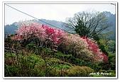 99日本立山、合掌村(二):A9904230796櫻花-妻籠宿.jpg
