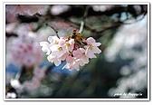 99日本立山、合掌村(二):A9904241299櫻花-高山.jpg