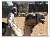 99阿布達比-阿拉伯聯合大公國:C9902170536駱駝-民俗文化村-阿布達比.jpg