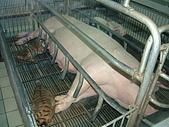 95泰國行:母豬餵小虎