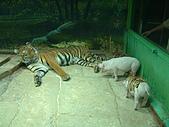 95泰國行:母虎餵小豬