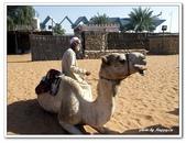 99阿布達比-阿拉伯聯合大公國:C9902170537駱駝-民俗文化村-阿布達比.jpg