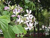 植物課-洋紫荊:照片11 (01).jpg