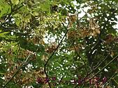植物課-青楓:照片11 (01).jpg