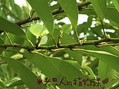 植物課-蘭嶼烏心石:相片03 (01).jpg