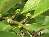 植物課-蘭嶼烏心石:相片03 (02).jpg