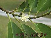 植物課-蘭嶼烏心石:相片01 (02).jpg