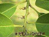 植物課-蘭嶼烏心石:相片01 (03).jpg