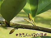 植物課-蘭嶼烏心石:相片01 (04).jpg