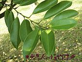 植物課-蘭嶼烏心石:相片01 (05).jpg