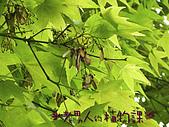 植物課-青楓:照片03 (07).jpg
