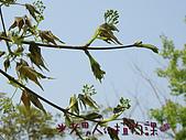 植物課-青楓:照片03 (01).jpg